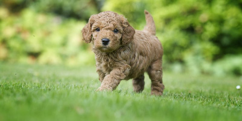 New puppy things you need to know when bringing a new for Things you need for a new home