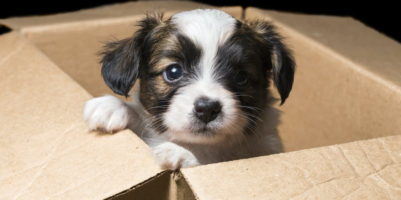 Papillon puppy in a carton box